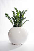 Zamioculcas in sphere